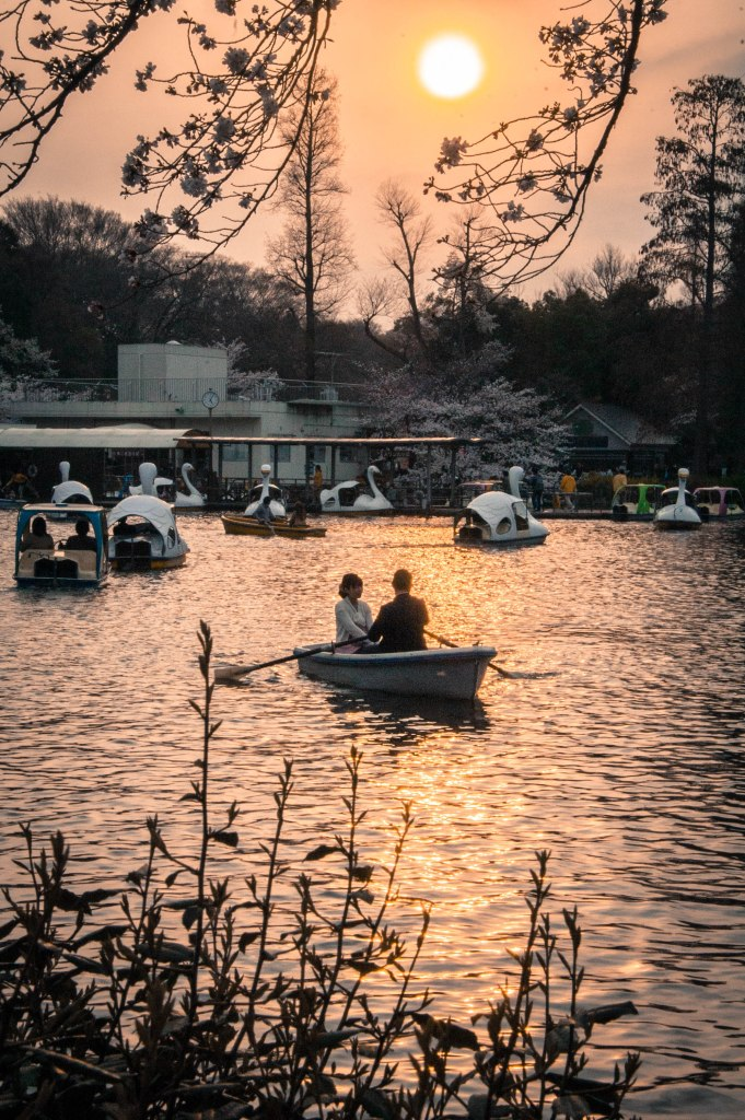 A couple in a boat on a pond in Inokashira Park in Kichijoji. Cherry blossoms can be seen in the distance.